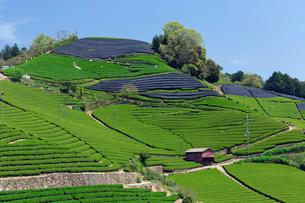 茶の摘み取りの写真素材 [FYI03959959]