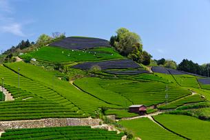 茶畑の写真素材 [FYI03959982]