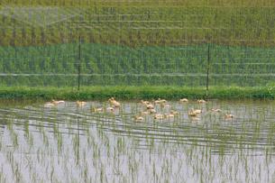 合鴨農法の写真素材 [FYI03959993]