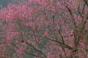 北山の紅梅の写真素材 [FYI03960213]