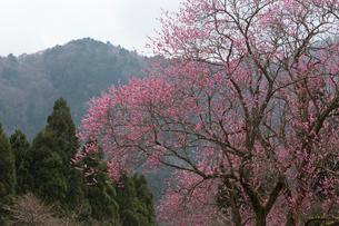 北山の紅梅の写真素材 [FYI03960214]