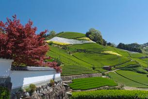 白壁と茶畑の写真素材 [FYI03960252]