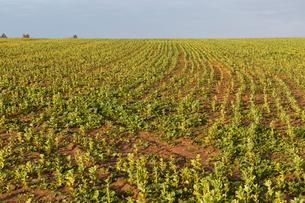 大豆畑の写真素材 [FYI03960522]