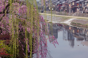 鴨川と桜の写真素材 [FYI03960765]