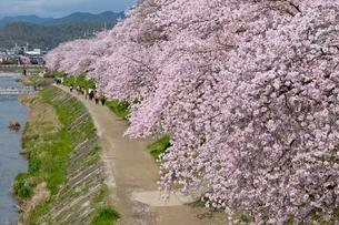 高野川の桜並木の写真素材 [FYI03960770]