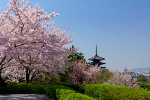 八坂の塔 桜の写真素材 [FYI03960775]