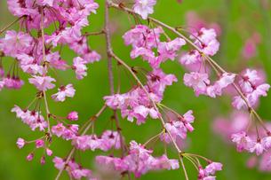 八重紅枝垂れ桜の写真素材 [FYI03960782]