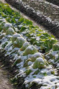 雪中野菜 白菜の写真素材 [FYI03961268]