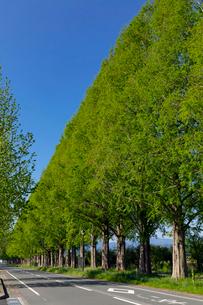 メタセコイア並木の写真素材 [FYI03961614]