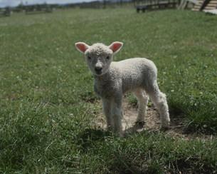 仔羊 レインボーファームの写真素材 [FYI03962879]