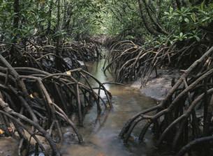 マングローブの森の写真素材 [FYI03965957]