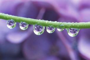 アジサイに水滴の写真素材 [FYI03966565]