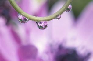 アネモネに水滴の写真素材 [FYI03966574]