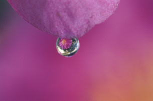 ツバキの花と水滴の写真素材 [FYI03966577]