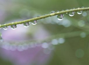 水滴に映るコスモスの写真素材 [FYI03968627]