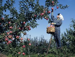 リンゴの収穫の写真素材 [FYI03969509]