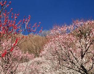 幕山公園の紅白梅の写真素材 [FYI03969537]