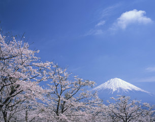 大石寺の桜と富士山の写真素材 [FYI03969681]