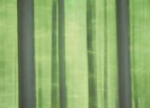 新緑のカラ松林のイメージ  5月の写真素材 [FYI03969786]