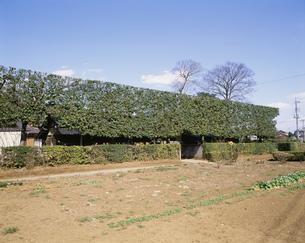 シラカシとツゲの垣根の写真素材 [FYI03971283]