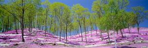 シバザクラ 藻琴山温泉の写真素材 [FYI03972281]