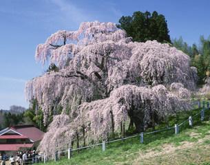 三春の滝ザクラの写真素材 [FYI03972485]