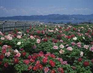 大根島のボタン 5月の写真素材 [FYI03972644]