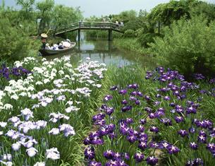 アヤメ 佐原水生植物園  6月の写真素材 [FYI03972647]