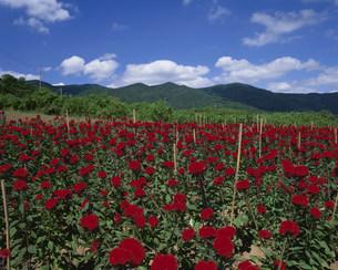 ケイトウの花の写真素材 [FYI03972734]