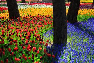 チューリップのイメージ 青い花はムスカリの写真素材 [FYI03972896]