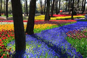 チューリップのイメージ 青い花はムスカリの写真素材 [FYI03972898]