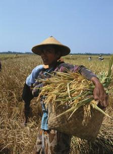 東南アジアの稲作の写真素材 [FYI03973212]