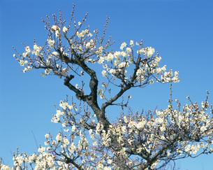 梅花 冬至 大阪城の写真素材 [FYI03973650]