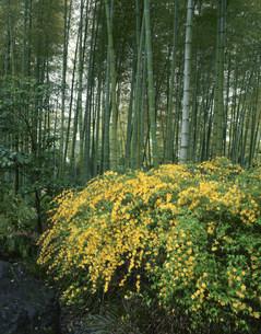 山吹と竹林の写真素材 [FYI03973716]