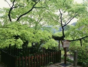 延命寺の夕照の楓の写真素材 [FYI03973767]