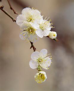 梅花(冬至)の写真素材 [FYI03973892]