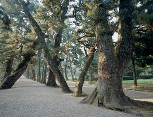 出雲大社の参道松並木の写真素材 [FYI03974002]