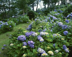 六甲山の紫陽花 神戸市灘区7月の写真素材 [FYI03974250]