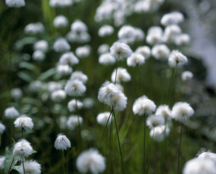 アラスカ・コットンの花の写真素材 [FYI03974502]