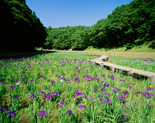 昭和の森 花菖蒲園の写真素材 [FYI03974631]