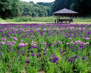 昭和の森 花菖蒲園の写真素材 [FYI03974632]