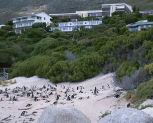 ボルダーズビーチのアフリカペンギンの写真素材 [FYI03974725]