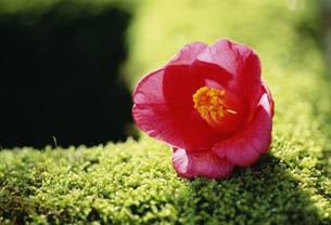 つくばいと椿の花の写真素材 [FYI03974823]