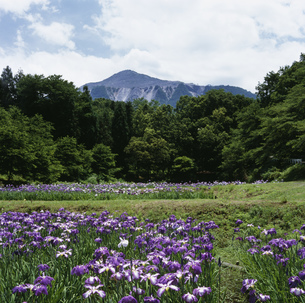 式中山と菖蒲の写真素材 [FYI03976121]