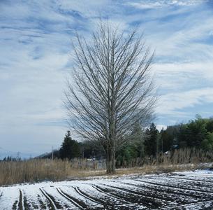 冬のイチョウ 鳩山町 埼玉県の写真素材 [FYI03976475]
