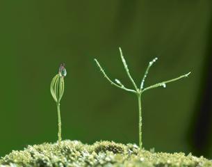 赤松の芽生え 4月の写真素材 [FYI03980234]