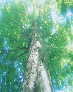 ブナの新緑の写真素材 [FYI03980538]