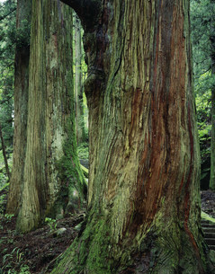 杉大木 樹齢500年の写真素材 [FYI03980547]