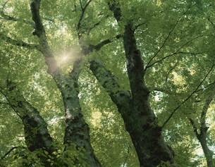 ケヤキと木もれ日の写真素材 [FYI03980575]