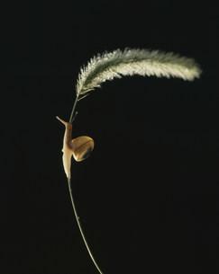 カタツムリの写真素材 [FYI03980610]